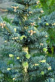 NEW GROWTH ON ABIES LASIOCARPA COMPACTA GLAUCA