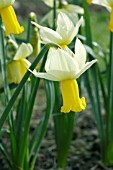NARCISSUS WINTER WALTZ