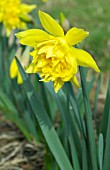 NARCISSUS VAN SION