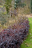 HEDGE OF PITTOSPORUM TENUIFOLIUM TOM THUMB