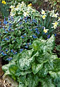 PULMONARIA LEWIS PALMER WITH ARUM ITALICUM GREEN MARBLE AND NARCISSUS CURLEW