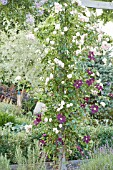 ROSA NEW DAWN WITH CLEMATIS WARSZAWSKA NIKE ON A PERGOLA