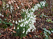 GALANTHUS NIVALIS UNDER A BEECH HEDGE