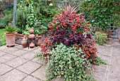 CUPHEA LLAVEA TORPEDO BEGONIA MILLION KISSES AMOUR CORDYLINE AUSTRALIS CHERRY SENSATION AND PLECTRANTHUS COLEOIDES VARIEGATA WITH COLEUS AND CINNERARIA IN A CONTAINER ON THE PATIO