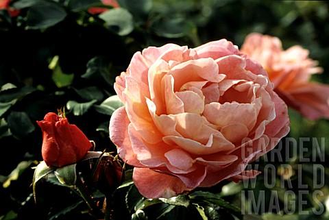 aku 080819013 rosa 39 marie curie 39 rose breeder meilla asset details garden world images. Black Bedroom Furniture Sets. Home Design Ideas