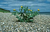 GLAUCIUM FLAVUM,  YELLOW HORNED POPPY,   GROWING BY THE SEA