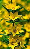 LYSMACHIA  PUNCTATA,  DOTTED  LOOSESTRIFE FLOWERS