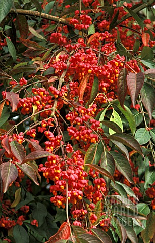 EUONYMUS_EUROPEAUS_RED_CASCADE__SPINDLE_TREE