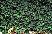 HEDERA HELIXENGLISH IVY GROUND COVER