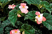 BEGONIA RICHMONDENSIS,  WATER DROPLETS ON PLANT