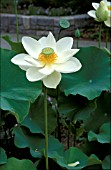 NELUMBO NUCIFERA,  ALBA GRANDIFLORA,  FLOWER AND FOLIAGE
