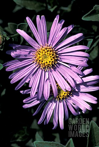 ASTER_FRIKARTII_MONCH__BLUE_FLOWERS_CLOSE_UP