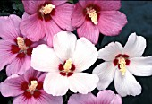 HIBISCUS SYRIACUS MIX,  FLOWERS
