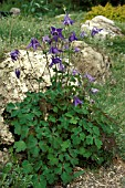 AQUILEGIA ALPINA,  PERENNIAL, BLUE, FLOWER, WHOLE, PLANT,  LATE SPRING, EARLY SUMMER