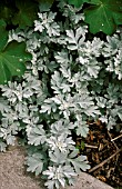 ARTEMISIA STELLERIANA SILVER BROCADE,  SILVER, FOLIAGE, CLOSE UP