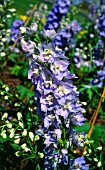 DELPHINIUM MAGIC FOUNTAIN LAVENDER WHITE BEE