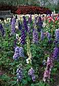 DELPHINIUM ELATUM MAGIC FOUNTAIN