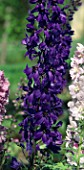 DELPHINIUM MAGIC FOUNTAIN DARK BLUE WITH DARK BEE
