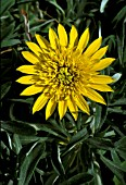 GAZANIA,  SUN ABOUT,  TREASURE FLOWER