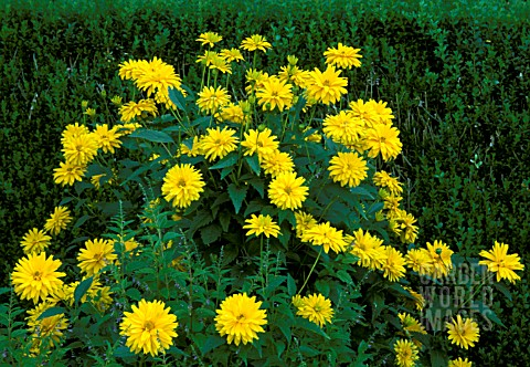 _HELIOPSIS_HELIANTHOIDES__SOMMERSONNE_SUMMER_SUN_ABUNDANT_FLOWERS_AND_FOLIAGE