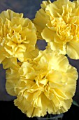 DIANTHUS CARYOPHYLLUS YELLOW CARNATIONS