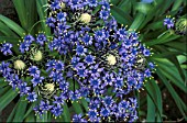 SCILLA PERUVIANA,  CUBAN LILY,  MASS OF FLOWERS