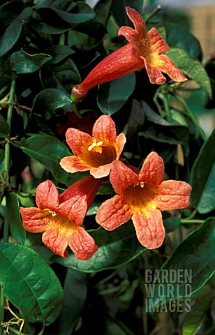 BIGNONIA_TANGERINE_BEAUTY__CLOSE_UP_OF_RED_AND_YELLOW_TRUMPET_FLOWERS