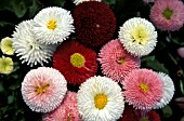 BELLIS PERENNIS,  ASSORTED COLOURS,  BUNCHED GROUP.