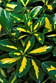 EUONYMUS JAPONICA GOLD SPOT