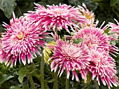 GERBERA GIANT SPINNERS PINK AND WHITE