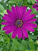 OSTEOSPERMUM OSTICA DARK PURPLE