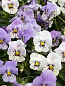VIOLA WILLIAMSII YES COCONUT FROST