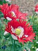 PAPAVER SOMNIFERUM SINGLE DANISH FLAG