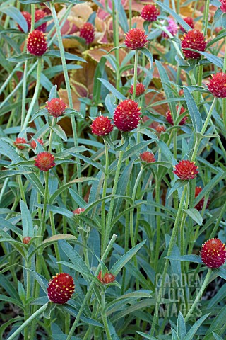 GOMPHRENA_STRAWBERRY_FIELDS