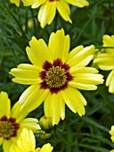 COREOPSIS GOLD NUGGET
