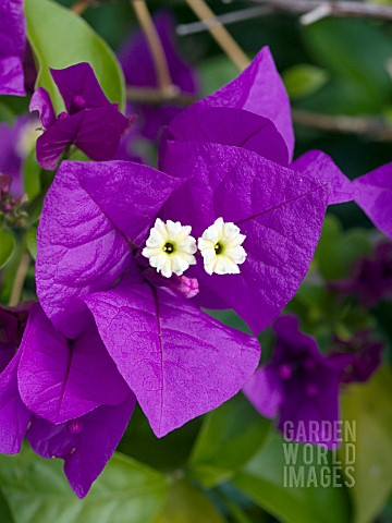 BOUGAINVILLEA_PURPLE_QUEEN