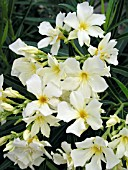 NERIUM OLEANDER YELLOW