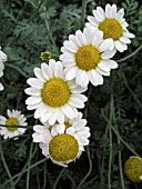 ANTHEMIS SUSANNA MITCHELL