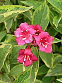 WEIGELA FLORIDA BRIGELA FRENCH LACE