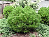 PINUS DENSIFLORA LITTLE CHRISTOPHER (PINE)