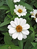 ZINNIA PROFUSION WHITE(YOUTH AND OLD AGE)