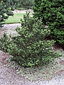 ILEX CRENATA GREEN DRAGON (JAPANESE HOLLY)