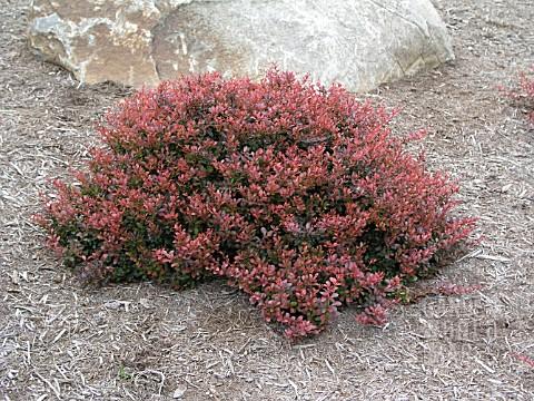 Berberis Thunbergii Atropurpurea Crimson Pygmy BEP2793- BERBERIS THUN...