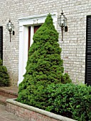 PICEA GLAUCA ALBERTINA CONICA AGAINST WALL BY FRONT DOOR