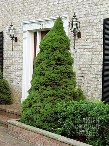 PICEA_GLAUCA_ALBERTINA_CONICA_AGAINST_WALL_BY_FRONT_DOOR