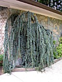 CEDRUS ATLANTICA GLAUCA PENDULA AGAINST WALL (ATLANTIC CEDAR)