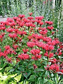 MONARDA DIDYMA CAMBRIDGE SCARLET