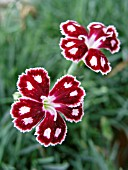 DIANTHUS SPANGLED STAR
