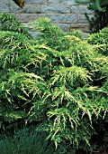 JUNIPERUS CHINENSIS GOLD LACE