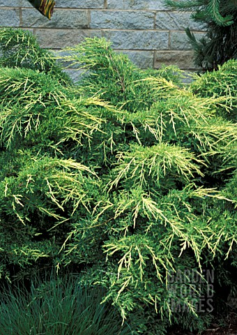 JUNIPERUS_CHINENSIS_GOLD_LACE